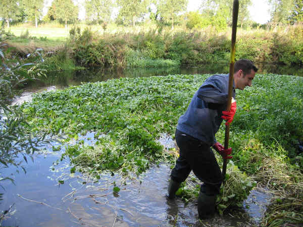 The huge floating pennywort raft in the weir stream of Ricketts Lock..
